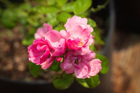 Beautiful pink roses in the garden Фото со стока - 134868562