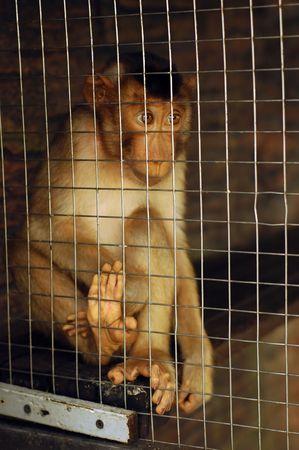 Sad Monkey Caged Stock Photo - 2912935