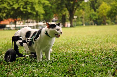 Cripple Cat In Wheelchair Imagens
