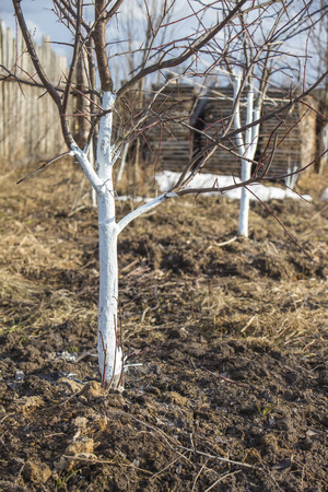 solicitude: Spring whitewashing of young apple trees in the garden Stock Photo