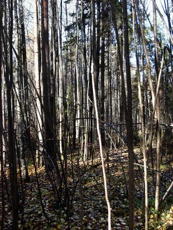 impenetrable thickets of wild forest