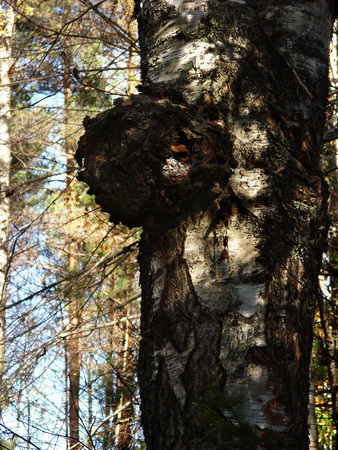 on birch trunk grows black fungus Chaga
