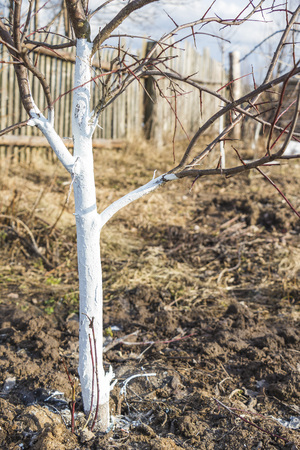 Spring whitewashing of young apple trees in the garden Stock Photo