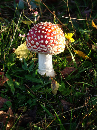fly agaric: Under birches there are many poisonous mushrooms of red fly Amanita