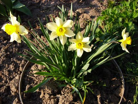 Daffodils bloom in the spring in the garden Stock Photo
