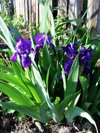 Irises bloom in the spring in the garden on the flowerbed