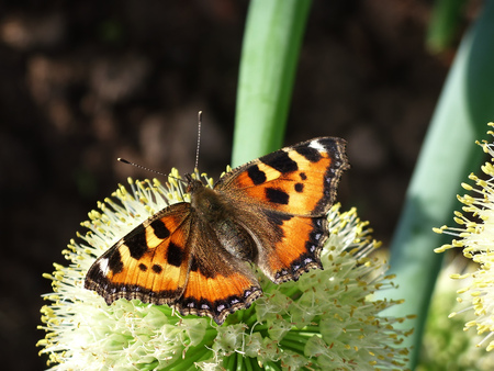 An orange butterfly sits on the inflorescence with the seeds of an onion plant Stock Photo