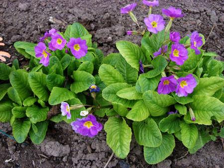 Flower in the garden flower primrose