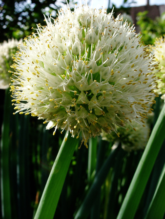 Head of inflorescence with seeds of bulbous plant during flowering