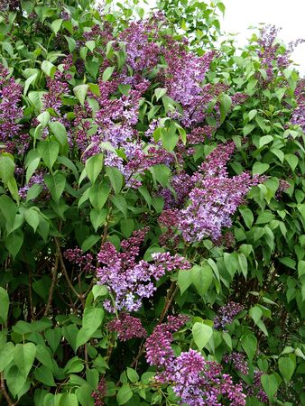 Lilac bush big blooms in the spring in the garden