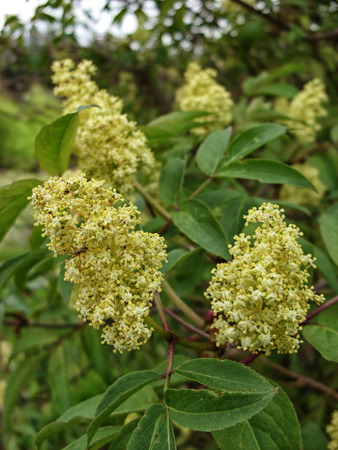 In the garden flowering plant elder with yellow inflorescences Stock Photo