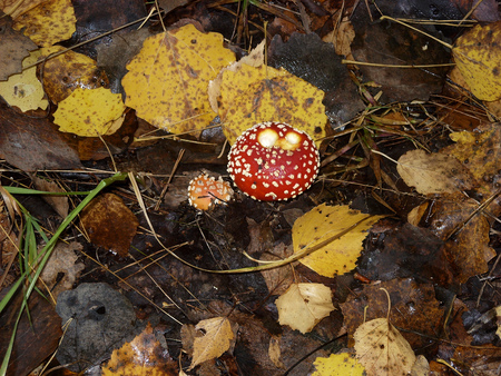 Under birches there are many poisonous mushrooms of red fly Amanita
