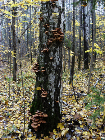 A lot of edible mushrooms grow on the trunk of a birch tree