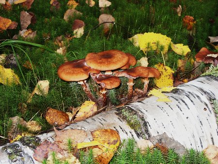 On moss is growing a lot of poisonous inedible and dangerous mushrooms Stock Photo