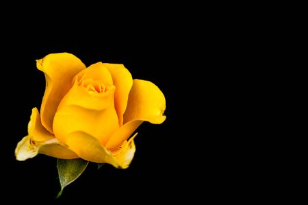 yellow stem: closeup of yellow rose with drops isolated on black background Stock Photo