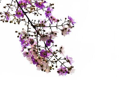 boutique hotel: Isolated Lagerstroemia floribunda flower on white background