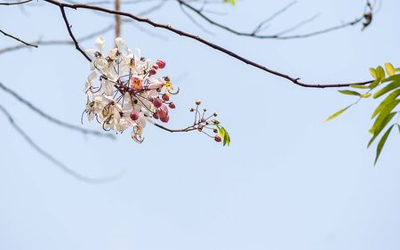 myrtle green: Lagerstroemia floribunda flower
