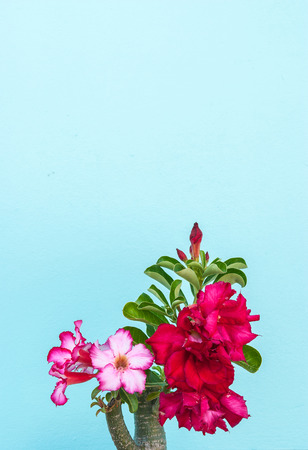 Desert Rose, beautiful pink flower with pastel wall background
