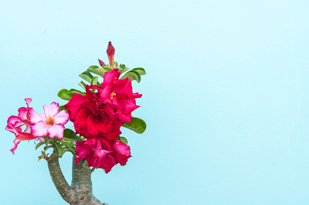 adenium: Desert Rose, beautiful pink flower with pastel wall background