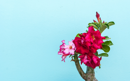 obesum: Desert Rose, beautiful pink flower with pastel wall background