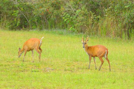 Dual deers standing in an open field  Stock Photo - 12805475