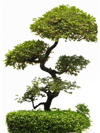 The bonsai tree isolated on white background. photo