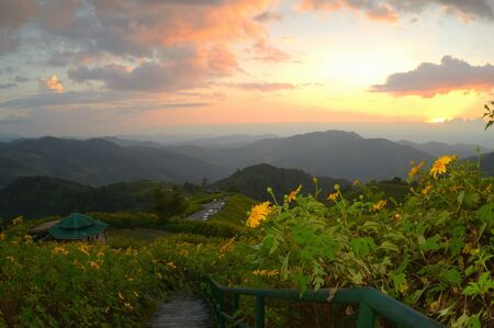 Sunset at mexican sunflower weed on the hill, Thailand. photo