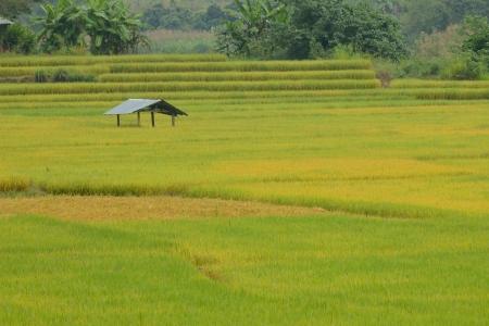 Terrace rice fields in Mae chaem, Chaing Mai, Thailand. photo
