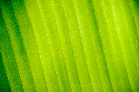 Abstract Banana leaves in background. photo