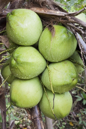 Group of organic coconut on the tree  photo