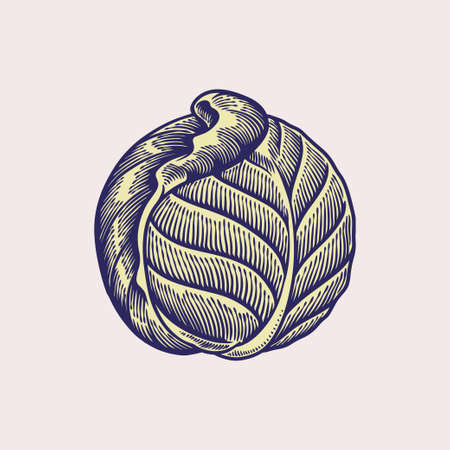 Cabbage vector illustration. Sketch food isolated on white background. Cooking vegan food theme. Vegetable hand drawn. Engraved image. Fresh organic and healthy, diet and vegetarian food concept Ilustrace