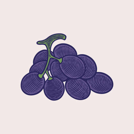 Vector sketch illustration grape bunches. Colored purple grapes hand drawn design. Antique vintage engraving illustration for design wine