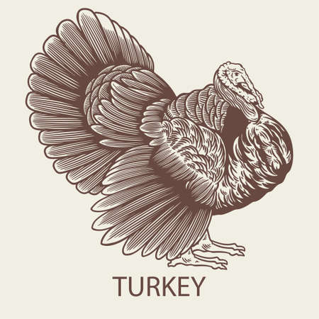 Old retro turkey hand drawn picture with a poultry. Can be used for logo, packaging in markets and shops and etc. Vector vintage illustration in engraving or woodcut style