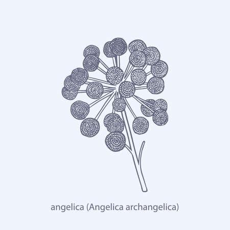 Hand drawn of herbs and spices asafoetida Ferula assa-foetida Ilustracja