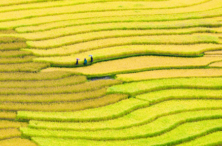 land management: The rice terrace in La Pan Tan fields, Mu Cang Chai was recognized companies by the national Ministry of Culture Landscapes, Sports and Tourism. Stock Photo