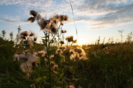 Close up photo of the beautiful white dandelion flowers in summer among the field in the golden rays of the sun