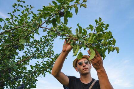 Serious young man farmer in white hat and sunglasses checks the condition of leaves on trees after treatment with fertilizers
