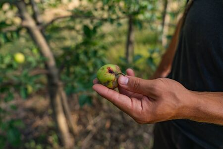 Close up photo of mans hand with apple affectedby the disease Stockfoto