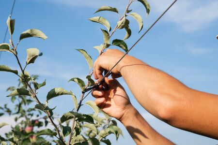 Close up photo of mans hands that tying trees to a wire Stock fotó