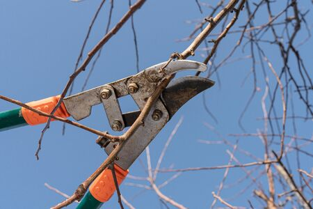 Close up photo of the pruning a young apple tree with garden secateurs in the autumn garden, sunny day