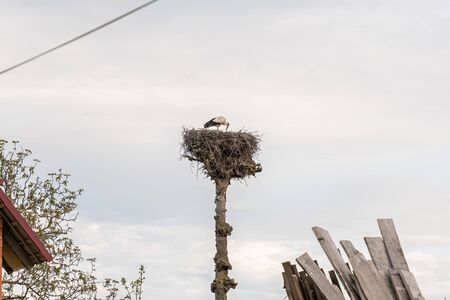 Stork in the nest on a tall tree with a sky on the background