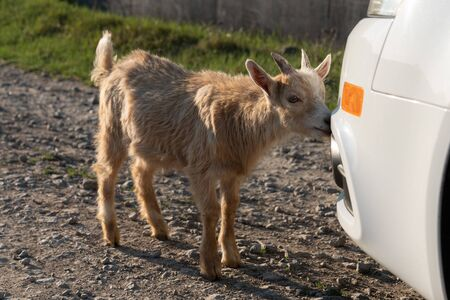 Little goat sniffiing a car while standing in the dirt road Archivio Fotografico