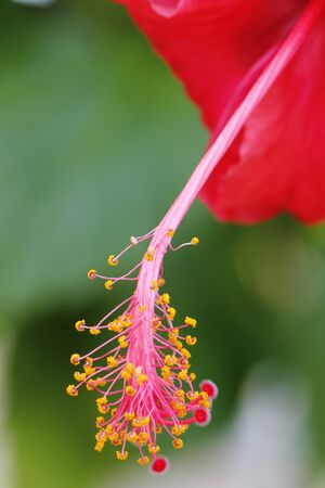 herbiscus - malaysia nation flower photo