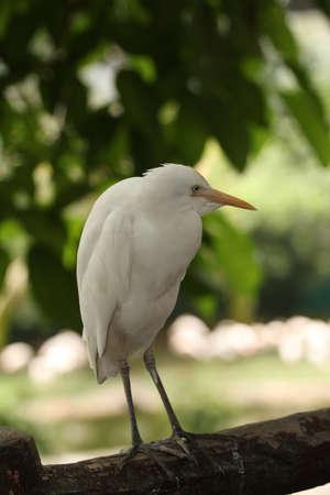 genera: small egret Stock Photo
