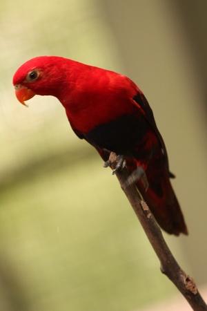 feroz: red fierce parrot Banco de Imagens