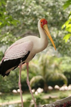 ciconiiformes: yellow bill stork
