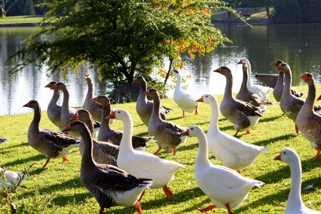 Ducks all going one direction