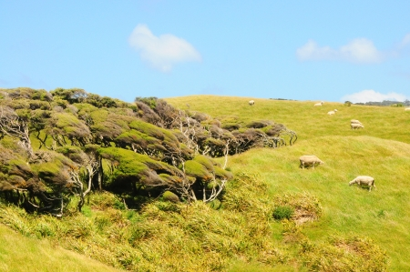 lambing: New Zealand inshore landscape with trees and sheep