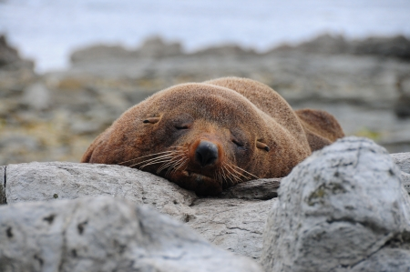 kaikoura: Asleep sea lion. Kaikoura, New Zealand