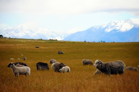 lambing: Flock of sheep  on a background of mountains